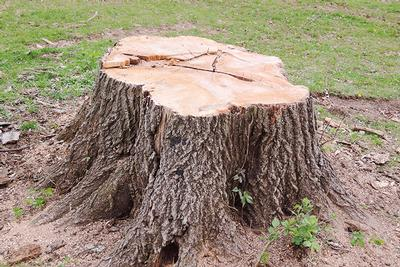 Stump Poisoning with our Tree Surgeon in Canterbury and Kent